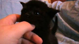 шотландский черный котенок.3 недели