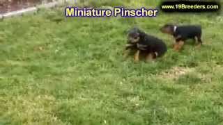 Miniature Pinscher, Puppies, For, Sale, In, Springfield, Missouri, Mo, St  Charles, St  Joseph, O'fa