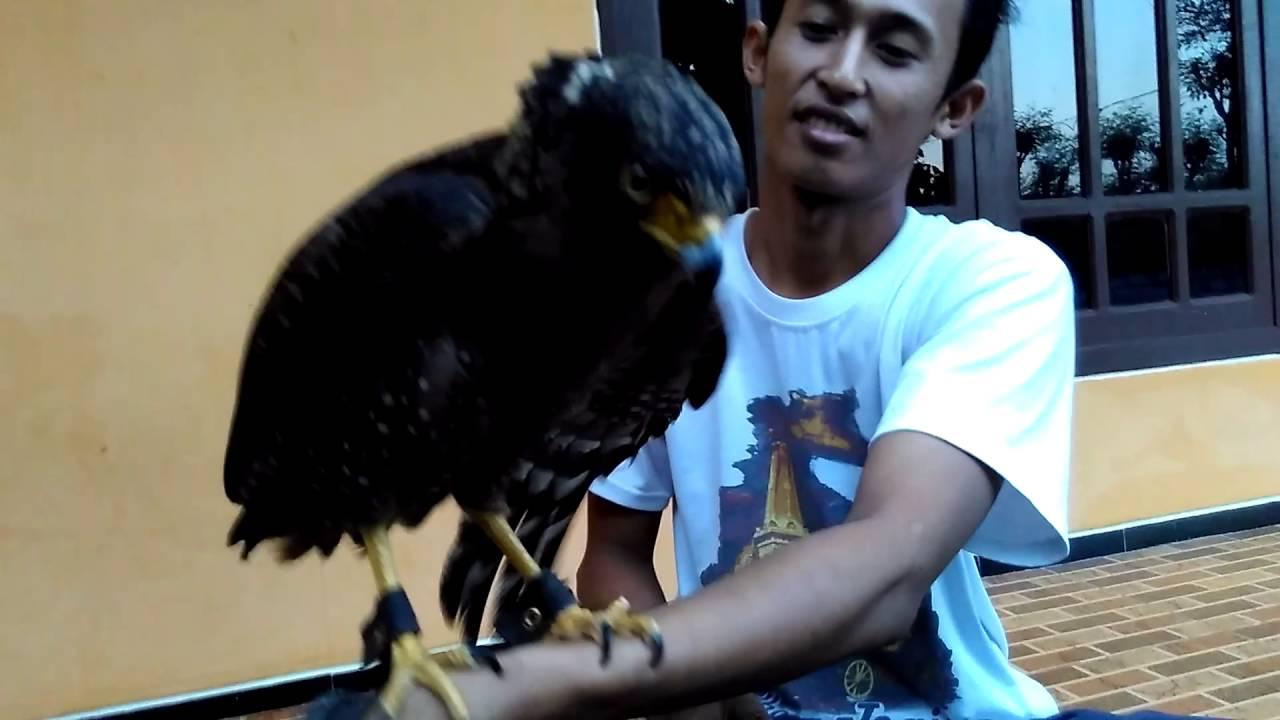 Cara Menjinakkan Burung Elang Agar Tidak Menyerang Bahkan Bersahabat Dengannya Youtube