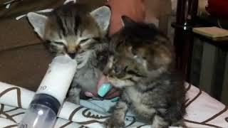 КАК вкусно!!!! Как кормить котят из шприца.