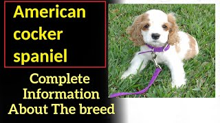 American cocker spaniel. Pros and Cons, Price, How to choose, Facts, Care, History