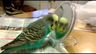Riko gadająca papuga
