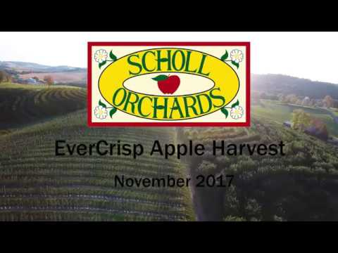 Scholl Orchards EverCrisp Harvest 2017