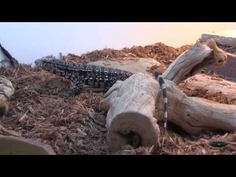 Tegu Unboxing From Teguterra (Argentine Chacoan Giant)