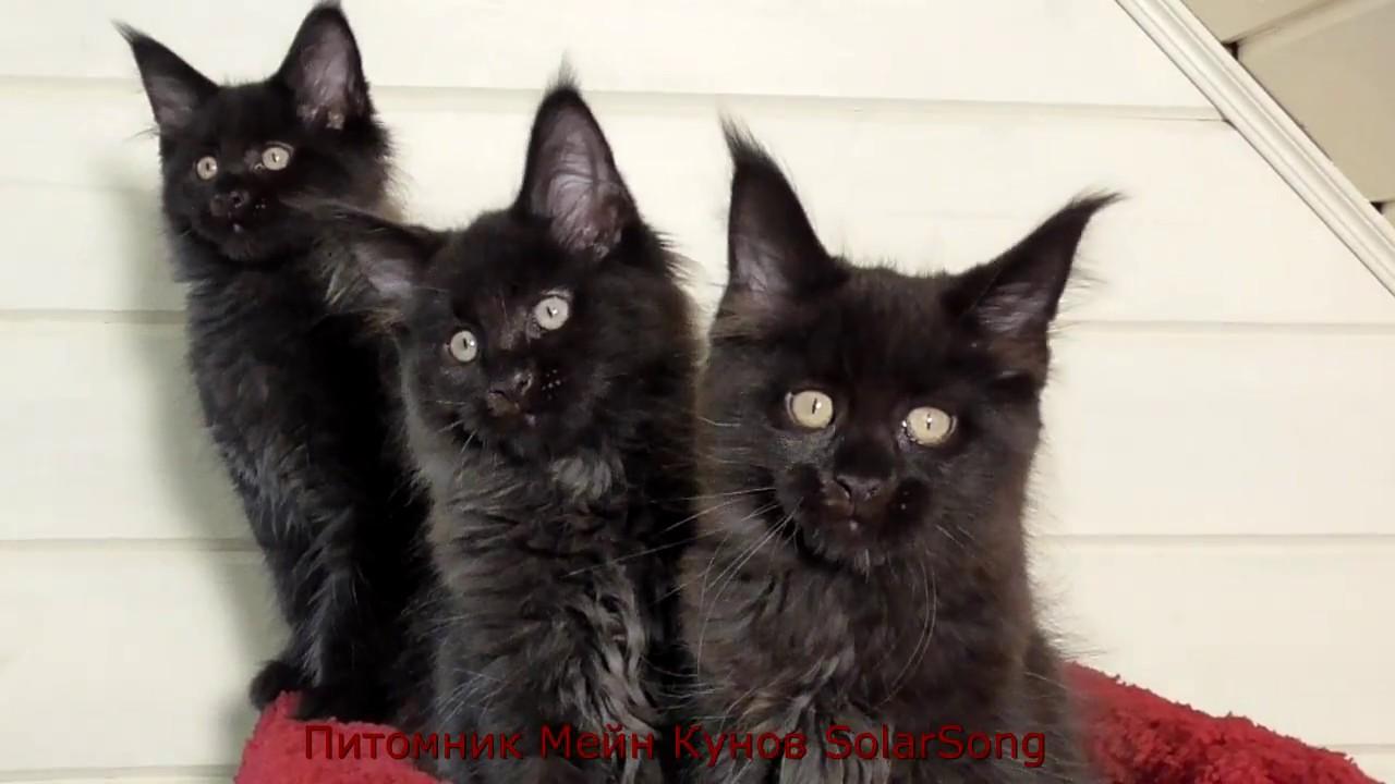 мейн кун фото черный котенок