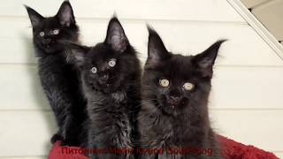 Котята Мейн Кун, чёрный солид, 2.5 месяца