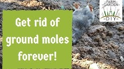 How to remove & get rid of ground moles best - guaranteed method!