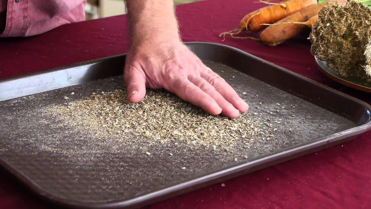 Saving Carrot Seed