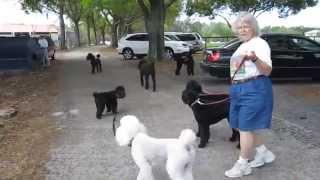 Florida Poodle Rescue--poodles Galore