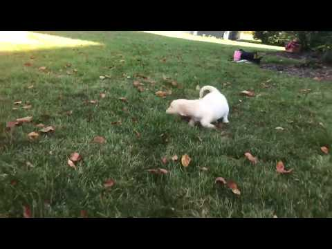 Jewell Golden Retriever Puppy for sale