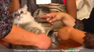 Абиссинские кошки на Обнинск-ТВ.avi