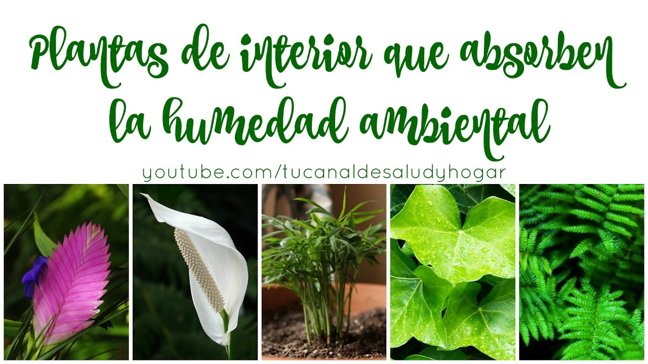 Plantas que absorben la humedad ambiental - YouTube