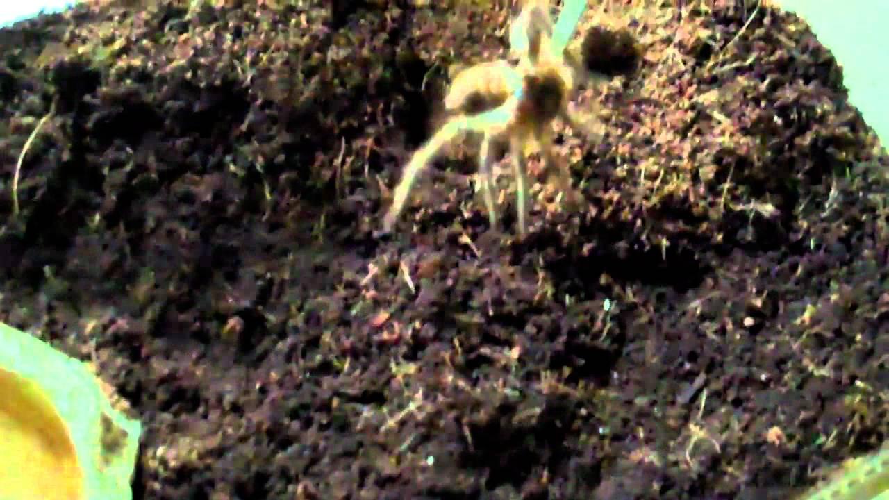 Giant Pacman Frog Eats Tarantula Youtube