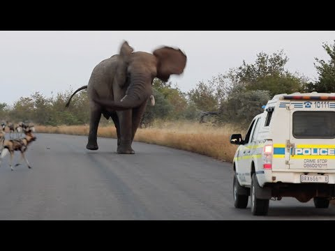 Elephant Shows Wild Dogs & the Police Who
