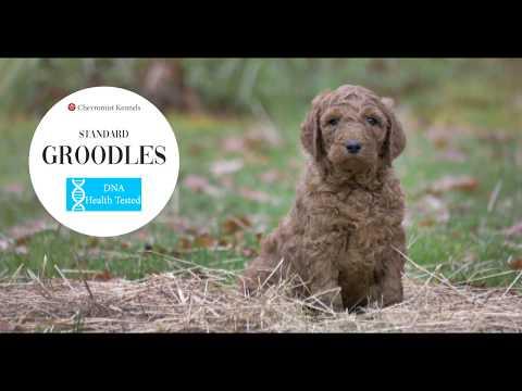 Std Groodles! #Chevromist Kennels