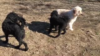 当犬舎の男の子たち。スタンダードプードル(レッド、ブラウン)、ミデ...