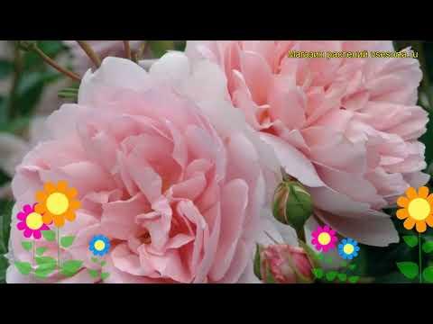 Роза кустовая Вилдив. Краткий обзор, описание характеристик, где купить саженцы Wildeve