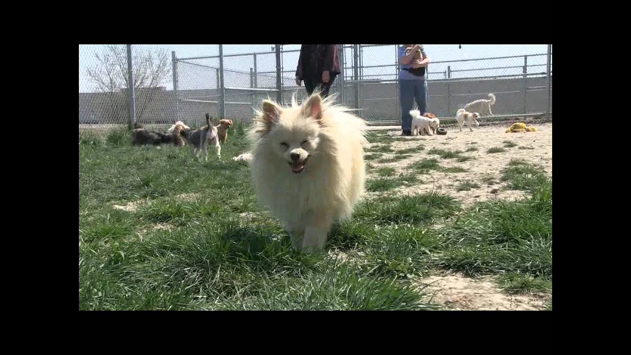 2012 Puppy Mill Rescue by the OSPCA & Humane Society of Durham Region
