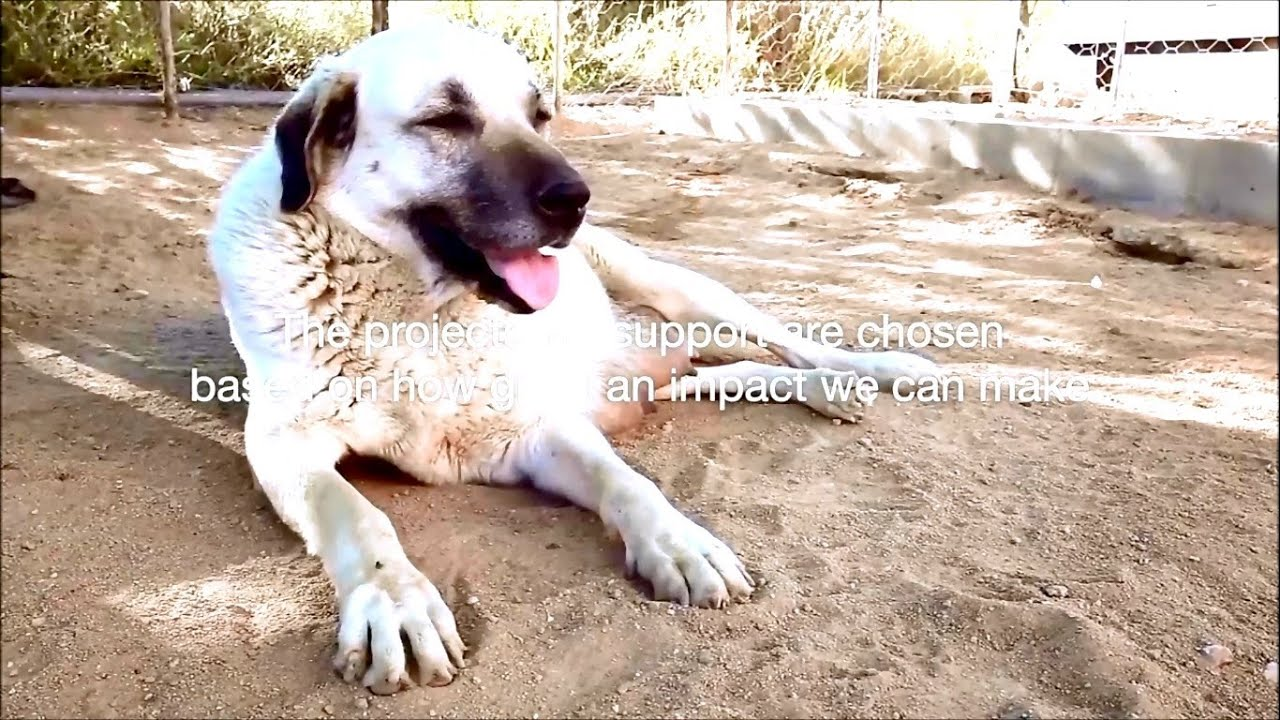 turkish dog kangal advertisement youtube. Black Bedroom Furniture Sets. Home Design Ideas