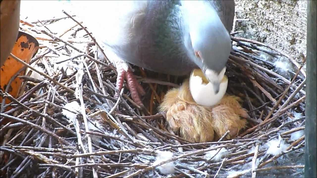 Pigeon Post: Baby Pigeons (squabs) - YouTube