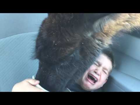 Llama Attack! Original Video