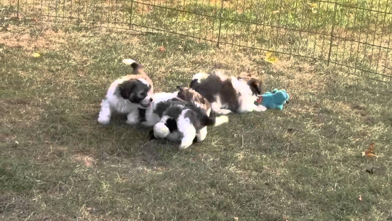 Teddy bear puppies for sale Iowa Breeder 2012
