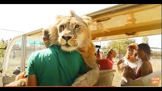 スリスリさせて、させてよぅぅ!甘えん坊のイエネコ状態の人懐こいライオンが目撃される(クリミア半島)