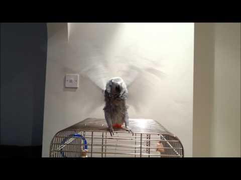 Harlem Shake African Grey Parrot