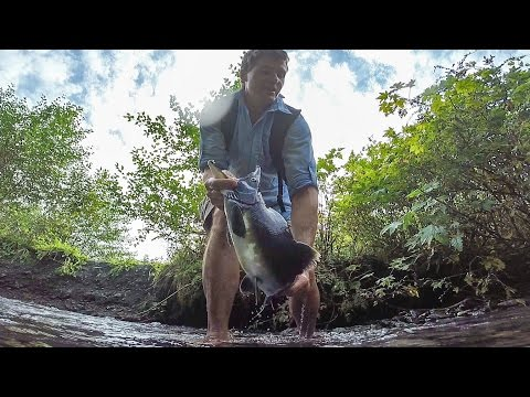 Easily catch Alaskan salmon by bare hands and eat it raw!