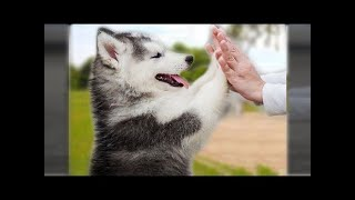 Cute baby husky Videos Compilation cute moment of the animals - Soo Cute! #12 ♥‿♥ Love