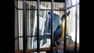 suara burung tledekan atau sulingan gacor
