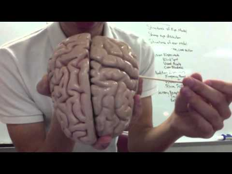 Sau Ap I Lab Test 3 Nervous Tissue Brain Anatomy Youtube