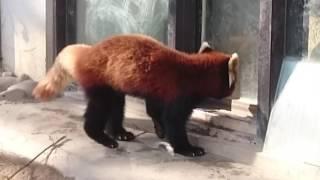 Passeando no parque NishiYama no Japão. Em busca do Panda Vermelho .