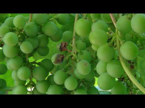 Осы на винограднике.Начал созревать виноград - пора вешать ловушки для ос.