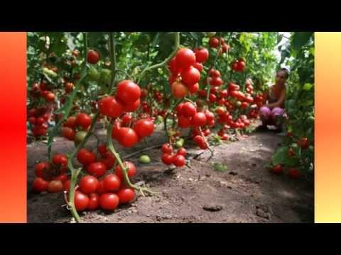 Особенности посадки и ухода за альстромерией в саду
