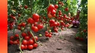 Выращивание помидор в теплице. Видео о выращивании томатов.(Выращивание помидор в теплице. Видео о выращивании томатов. http://parnik.net.ua/, 2014-05-30T13:33:23.000Z)