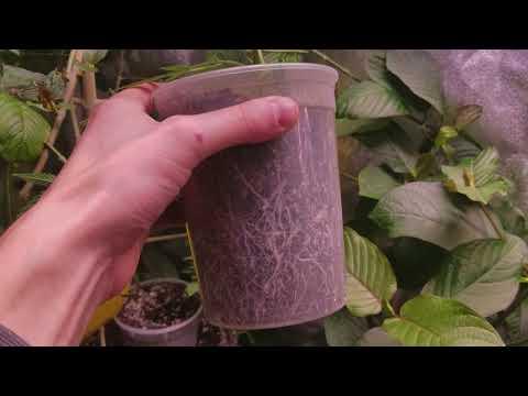 Big buds even with nutrient burn | Electric Sky | growing kratom plants