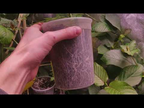 Big buds even with nutrient burn | Electric Sky | growing kratom plants