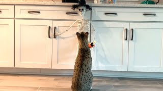 Halloween Skeleton Vs Cats! Watch Until The End! 😹 cute #halloween #cats