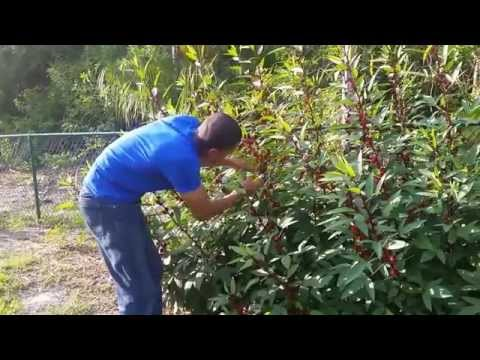 Red Roselle Harvesting And Growth Rate