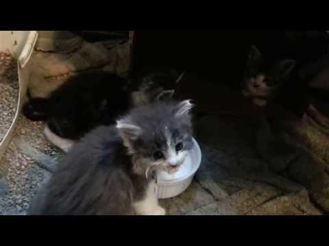 Cutest feral kitten hissing with milk mustache