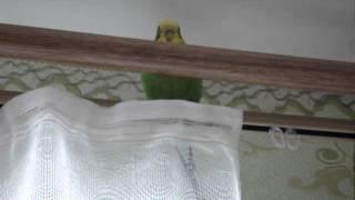 А Маша хулиганка, грызет занавеску! приколы с попугаями видео