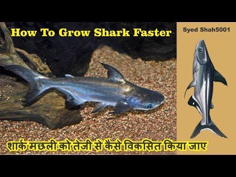 How To Grow Sharks Fish Faster  #Aquariumshark Irredecent Shark #Tigershark