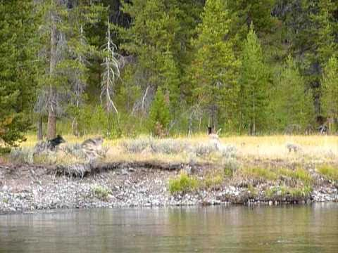 Wolf Pack Kills a Yearling Elk in Yellowstone National Park
