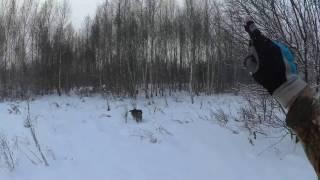 Работа по куропатке зимой с Дратхааром