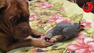 Gadająca papuga Grigorij - naśladuje głosy zwierząt (Grigorij The Talking Parrot)