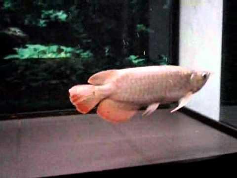 Elkindo - cá đẹp( cá rồng) -by h2m.foxvie.flv