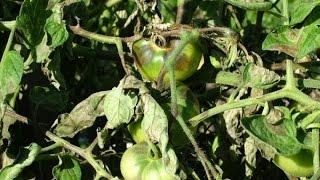 Огород без хлопот  Профилактика и борьба с фитофторозом народными методами(, 2015-06-28T10:35:33.000Z)