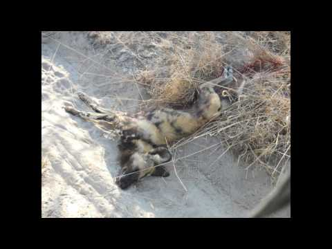Saving the African Wild Dogs