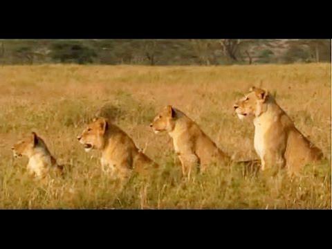 Serengeti Aslanları (Süper Sürü) Belgesel